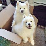 Pictures of Samoyed Dog