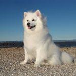 Samoyed Dog Images