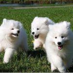 Samoyed Dog Mix