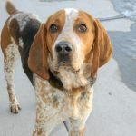 American Coonhound