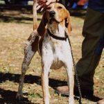 American English Coonhound Dog