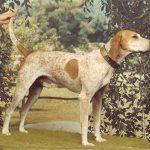 American English Coonhound Photos