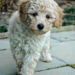 Bichon Frise Poodle