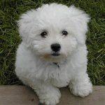 Bichon Poo Dog