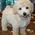 Bichon Poo Puppy Photos