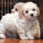 Bichon Poo Puppy Pictures