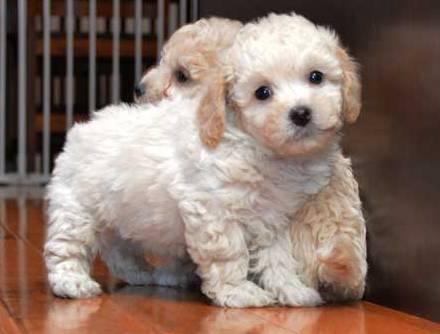 Bichon Poo (also known as Poochon, Bichpoo, Bichon Poodle
