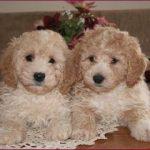 Bichon Poodle Mix Puppies