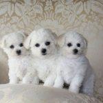 Bichpoo Puppies