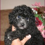 Black Bichon Poo Puppy