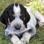 Black White English American Coonhound