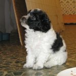 Black and White Bichon Poo