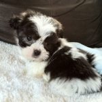 Black n White Shichon Dog