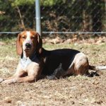 English American Coonhound