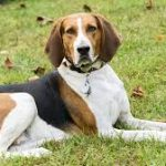 English American Coonhound Full Grown