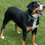 English American Coonhound Images
