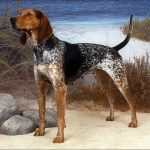 English American Coonhound Pictures