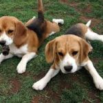 English American Coonhound Puppy