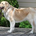 Golden Pyrenees Dog