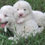 Golden Pyrenees Images