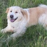 Golden Pyrenees Size