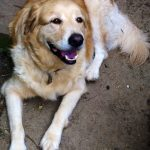 Golden Retriever Great Pyrenees Mix