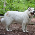 Great Pyrenees Golden Retriever Mix