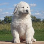 Great Pyrenees Golden Retriever Mix Puppy