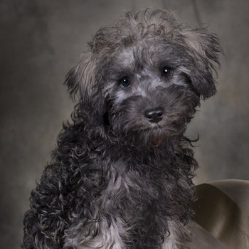 Schnoodle Dog Breed Information Pictures Temprament Amp Facts