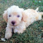 Images Schnoodle Puppies