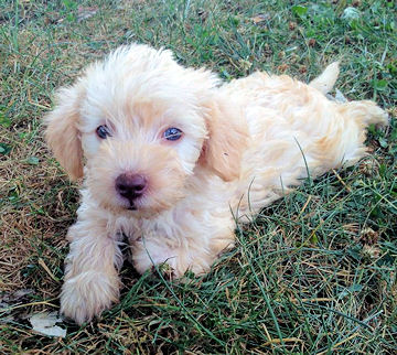 Schnoodle Dog Breed Information Pictures Temprament Facts