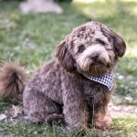 Pictures of Schnoodle