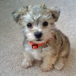 Schnauzer Poodle Mix Dog Breed