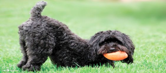 Schnoodle Picture