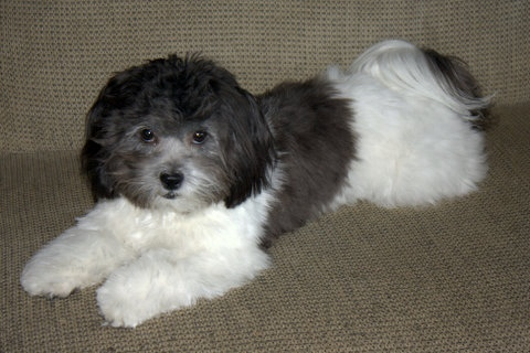 shichon zuchon shih tzu bichon mix dog breed info