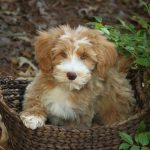 Teddy Bear Schnoodle