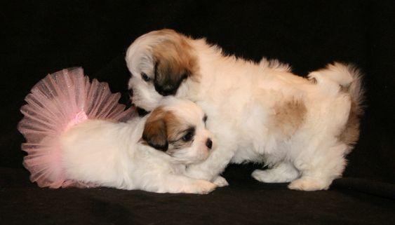 Shichon Zuchon Shih Tzu Bichon Mix Dog Breed Info