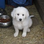 White Golden Pyrenees