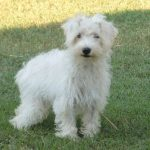 White Schnoodle Dog
