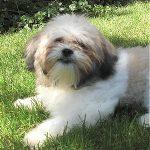 Zuchon Dog