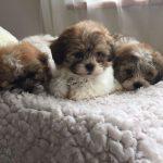 Zuchon Puppies