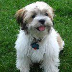 Zuchon Puppies Pictures