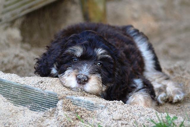 Aussie Doodle Dog Breed