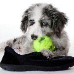 Aussie Poo Dog Images