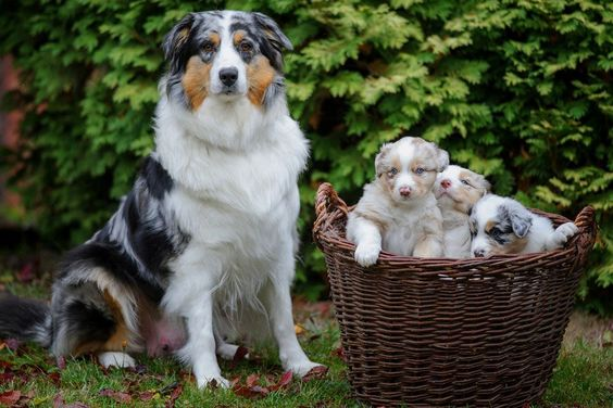 Aussiedoodle Aussiepoo Australian Shepherd Poodle Mix