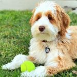Aussiedoodle Images