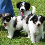 Aussiedoodle Puppies Pictures