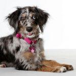 Australian Shepherd-Poodle Mix