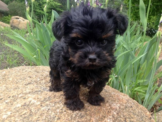 Yorkiepoo Yorkshire Terrier Poodle Mix