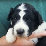 Black and White Aussiedoodle Puppy